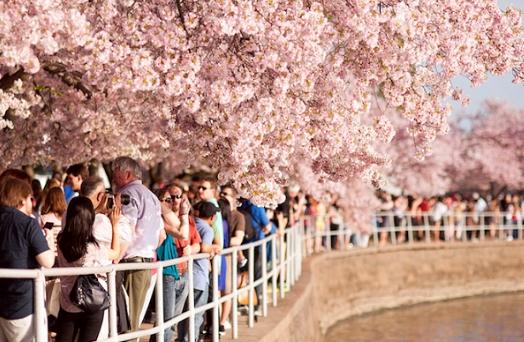 Lễ hội hoa anh đào ở đảo Jeju – địa điểm nhất định phải ghé thăm