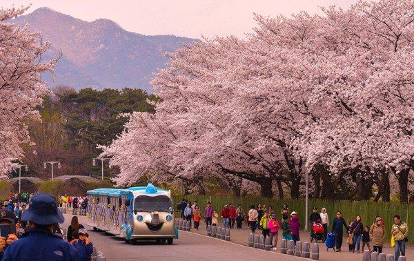 Tháng 4 hoa đào nở, ven sông Hàn ngập màu trắng xóa, cảnh đẹp như tranh.