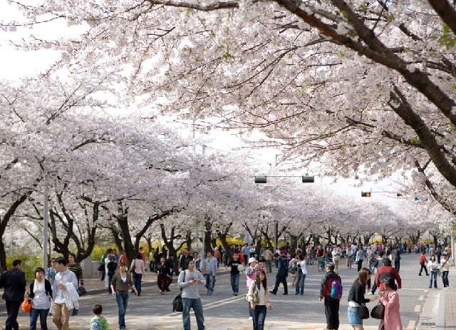 Trong thời gian diễn ra lễ hội, ô tô bị hạn chế ở khu vực này. Bạn có thể đi bộ hoặc đạp xe dọc đường hoa Yeouido