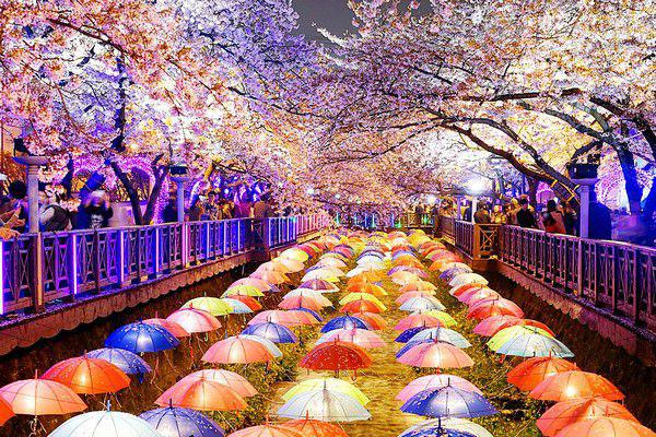 Lễ hội ánh sáng suối Yeojwa– sự hòa quyện tuyệt vời của ánh sáng và hoa anh đào